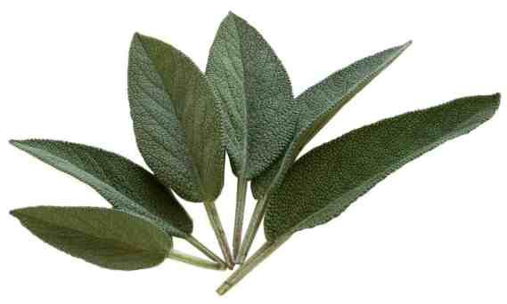 sage is a stable for holiday cooking