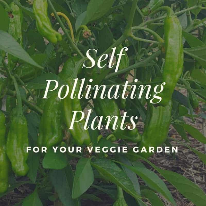 Self Pollinating Plants For Your Veggie Garden