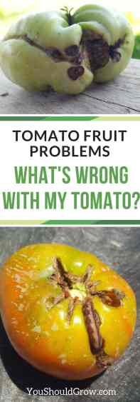 Tomato problems: What's wrong with my tomato? Find out what causes rotten spots, big ugly scars, and tomatoes that don't ripen.
