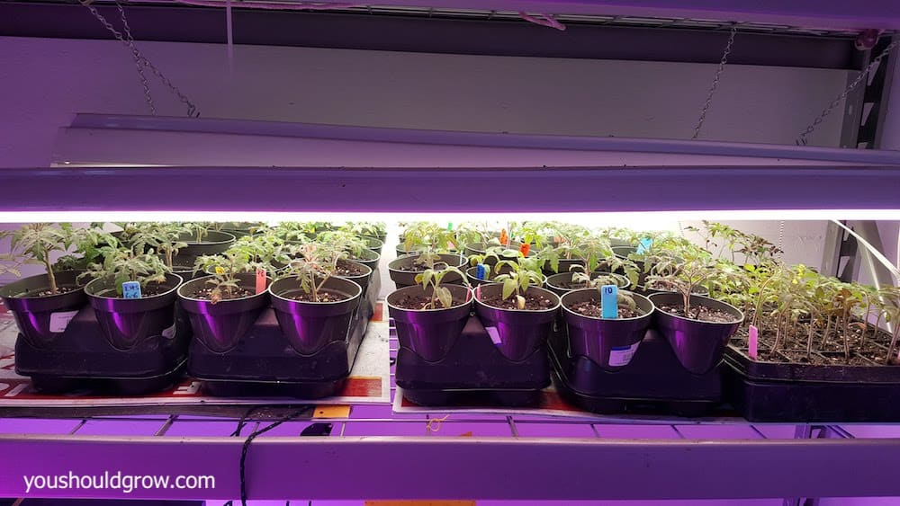 Young tomato plants growing indoors under shop lights