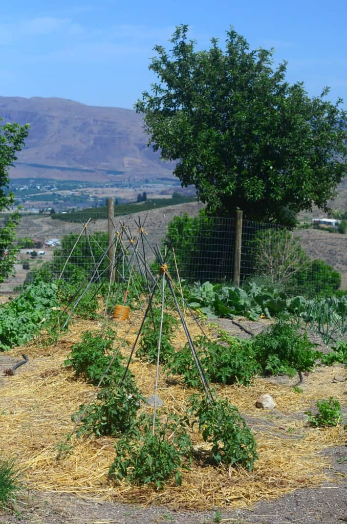 Tomato cage teepee from bamboo sticks.