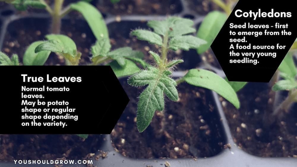 Tomato seedling demonstrating true leaves vs cotyledons.