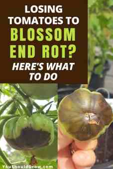 What to do about blossom end rot on tomatoes.