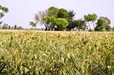 The Wheat Fields