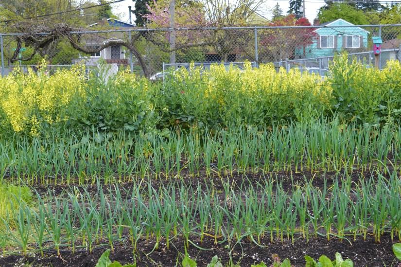 collard greens blooming