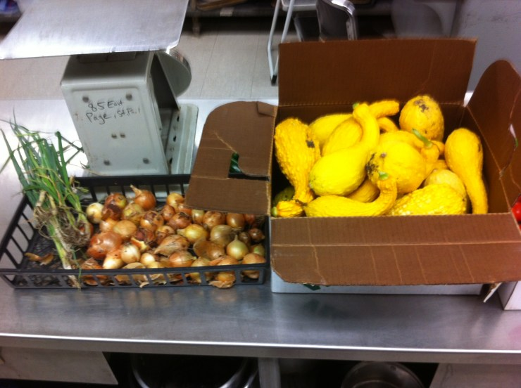 Lots of squash and the final harvest of onions