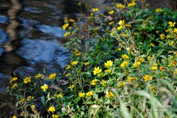 Fall flowers blooming by the creek.