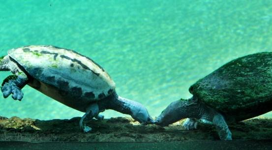 Sea Turtle Love.