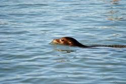 A Sea Lion on the move...