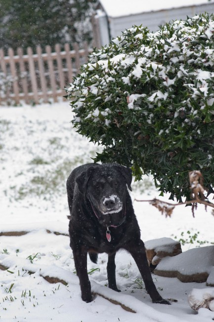 My Black Lab Salem. She is 12yrs old going on 13 this year. And she *still* loves the snow. Sweet girl.