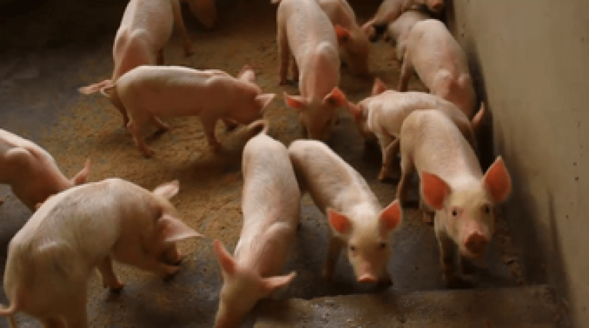 how she started a pig farming business in Ghana