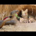 Primitive Technology: Boys Found Six Cats From Python Attack – Python Stalks Cat Home