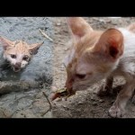Rescue kitten stuck in mud at pond and give food – Cat rescue by man