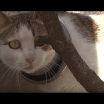 Cat With An Iron Hoop On Her Neck Starves But Feeds Her Kittens | Animal in Crisis EP42