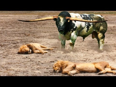 OMG! Big Cat King Lion Hunting Strong Buffalo in Wildlife | King Lion vs Buffalo | Animal Attacks #8