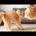 Cat William MEETS his baby kitten named Artist 😂😍