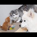 밀키복이가 아기고양이를 대하는 방법