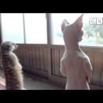 울집 고양이 미어캣이랑 같이 살더니ㅋㅋㅋ l What Happens When My Cat Lives With A Meerkat Is lol