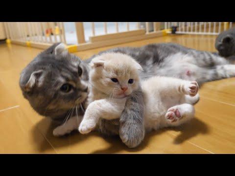 絶対に外出したい子猫と外出させたくない母猫の攻防がかわいい…スコティッシュフォールドつむの子猫の成長記録…kitten vs mother
