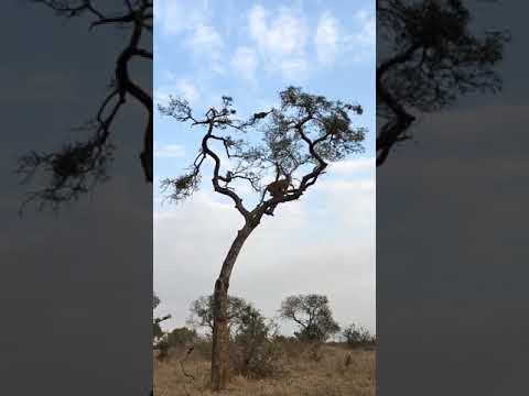 Leopard chasing a monkey atop a tree