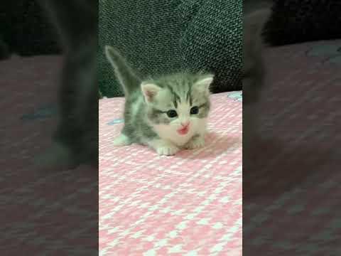 Clinging little cute.#kitten #cat #pet #cat #catshorts