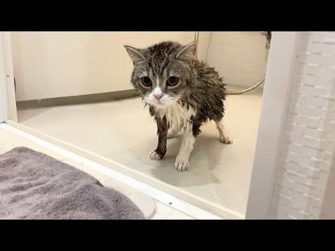 お風呂に入ったら子猫みたいに小さくなった猫がこちらです…笑