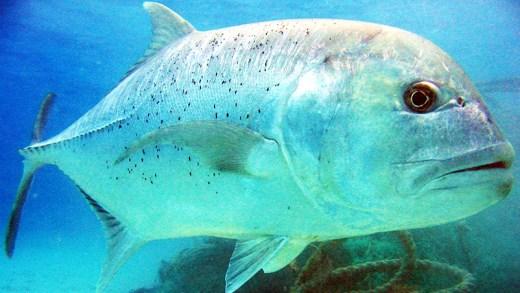 ay balığının muhteşem ay yetenekleri