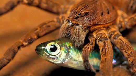 yılan yiyen örümcek