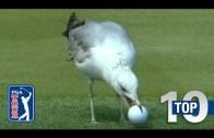 PGA Golf Turlarındaki Hayvan Baskınları!
