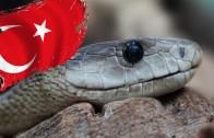 Türkiye'de Yaşayan En Zehirli Yılan Türleri