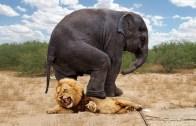 Yırtıcılara Karşı Kendini Korumayı Başaran İnatçı Hayvanlar