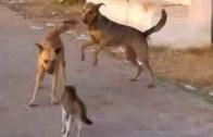 Cengaver Kedilerin Masum Köpeklerin Akıllarını Aldığı Dakikalar (Yürek İçerir)