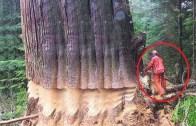 Devasa Ağaçların Saatler Süren Uğraşlar Sonunda Kesim Anları