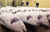 Japonya'da Yakalanan Dev Yengeçler ve Paketlenmesi