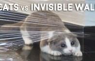Kedilerin Görünmez Duvar İmtihanı ile Komik Anlar