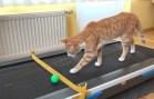Evde Bulunan Koşu Bandına Karşı Kedi Reaksiyonları