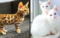 Yeryüzünde Var Olan En Nadir Kediler – Efsane Yaratılış
