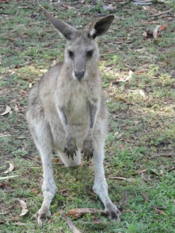 Australie- Rockampton: Kangourous