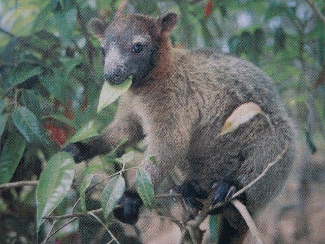 Australie- Queensland: Cap Tribulation: Celuici je ne lai pas vu, et pourtant j'aurai aimé. C'est un kangourou qui vie dans les arbres!!!! Hallucinant non!?