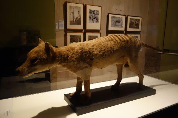 Australie- Tasmanie: Le Tigre de Tasmanie.