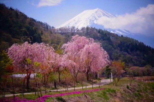 Cerisiers en fleurs et vue sur le Mont Fuji photo article tour du monde https://yoytourdumonde.fr