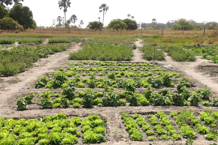 Salades et autres sont produites par les femmes de Kamobeul dans leurs jardins en Casamance photo blog voyage tour du monde https://yoytourdumonde.fr