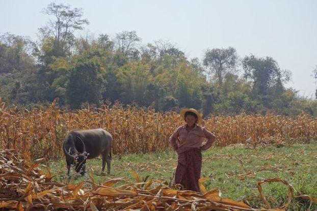 Dans l'Etat Shan vous pouvez voir de nombreux buffle ici nous avons une locale avec un buffle dans les champs en birmanie photo blog voyage tour du monde https://yoytourdumonde.fr