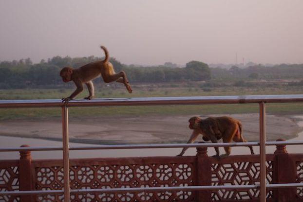 Les singues qui sont pres du Taj Mahal volent les bouteilles d'eaux! photo blog voyage tour du monde https://yoytourdumonde.fr