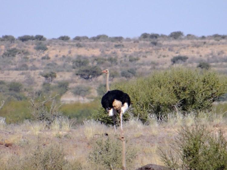 Autruche en Namibie photo blog voyage tour du monde https://yoytourdumonde.fr