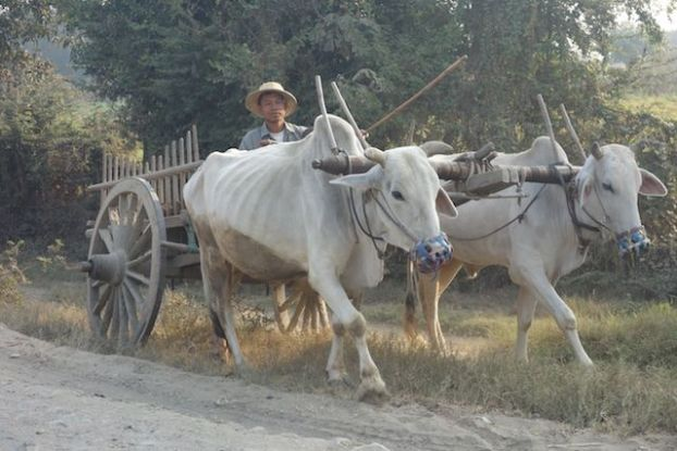 Des boeufs sont entrain de travailler dans des champs dans la campagne de Monywa en birmanie ou myanmar photo blog voyage tour du monde https://yoytourdumonde.fr