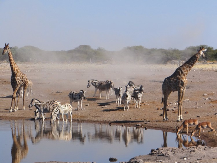 L'hivers en Namibie correspond à la saison sèche, c'est la meilleure saison pour voir les animaux dans les points d'eaux au Parc National d'Etosha photo blog voyage tour du monde travel https://yoytourdumonde.fr
