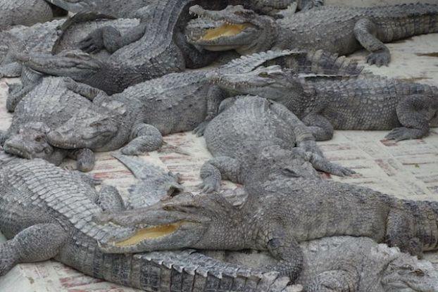 Apres l'Autralie je me retrouve devant des crocodiles mais cette fois ci du cote du cambodge photo blog https://yoytourdumonde.fr