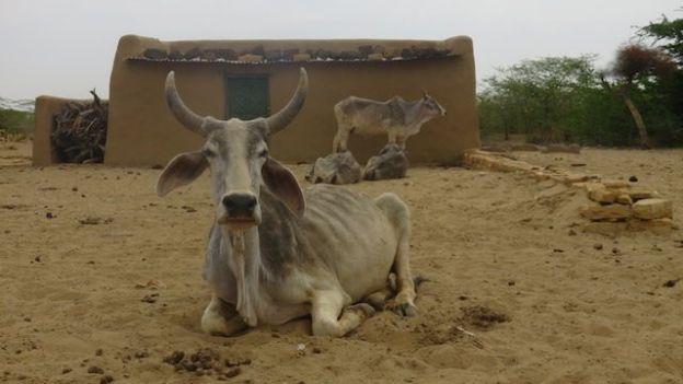 Vous allez quand meme retrouver des vaches bien vivantes dans le desert de thar en inde dans le rajasthan