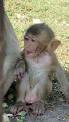 singe-Lopburi-thailande-bebe